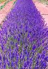 Lavender Party at the Parc de les Olors